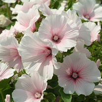Lavatera Dwarf Pink Blush Flower Seeds