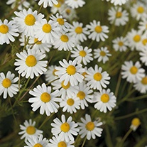 Corn Chamomile Wildflower Seeds