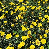 Corn Marigold Wildflower Seeds