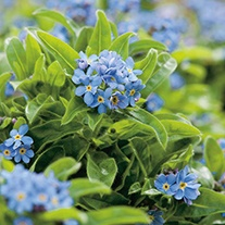 Forget-Me-Not Field Wildflower Seeds