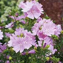 Mallow Musk Wildflower Seeds