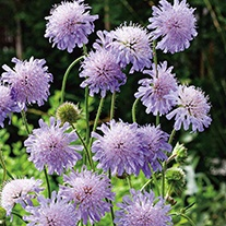 Scabious Field Wildflower Seeds