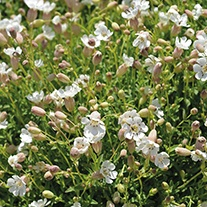 Sea Campion Wildflower Seeds