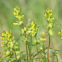 Yellow Rattle Wildflower Seeds