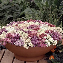 Alyssum Aphrodite Mixed Flower Seeds
