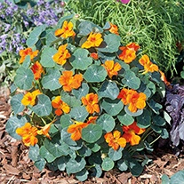 Nasturtium Baby Orange Flower Seeds