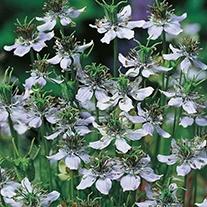 Nigella Black Caraway Seeds