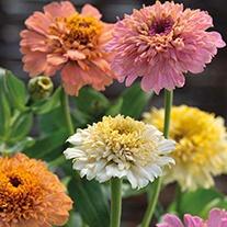 Zinnia Peaches & Cream Mixed Flower Seeds