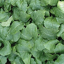 Kale (Ethiopian) Amara Vegetable Seeds