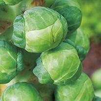 RHS Brussels Sprout Igor F1 Vegetable Seeds