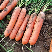 RHS Carrot Marion F1 Vegetable Seeds