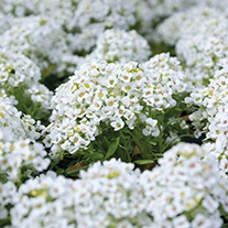 RHS Alyssum Snowdrift Flower Seeds