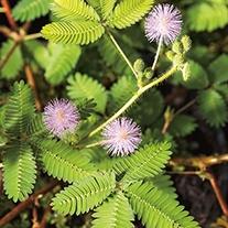 RHS Mimosa Pudica Flower Seeds