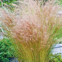 RHS Stipa Tenuissima Pony Tails Seeds