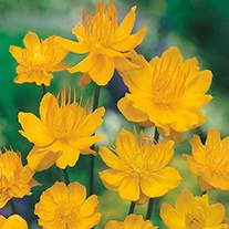RHS Trollius Golden Queen Flower Seeds