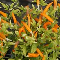 Pepper (Chilli) Mardi Gras Vegetable Seeds
