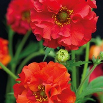 Geum Red Dragon Flower Seeds