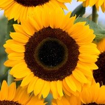 Sunflower Tiffany F1 Flower Seeds
