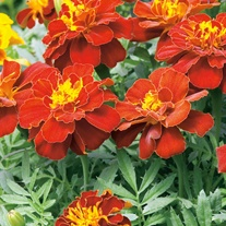 Marigold (French) Firebird Flower Seeds