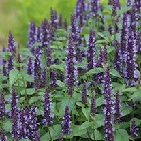 Agastache Astello Indigo Flower Seeds