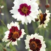Coreopsis Incredible! Swirl Flower Seeds