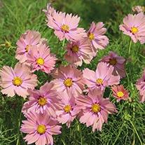 Cosmos Apricotta Flower Seeds