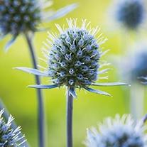 Eryngium Planum Flower Seeds