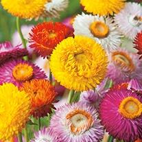 Helichrysum Strawflow Flower Seeds