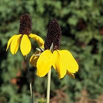 Rudbeckia amplexicaul Flower Seeds