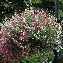 Silene Sibella Mix (Trailing) Flower Seeds