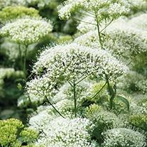 Trachelium White Knight Flower Seeds