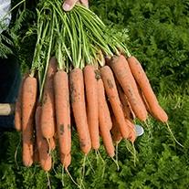 Carrot Nerac F1 Vegetable Seeds