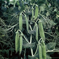 Pea (Early) Spring Vegetable Seeds