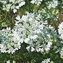 Orlaya Grandiflora Flower Seeds