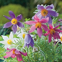 Pulsatilla Heiler-Hybrids Flower Seeds