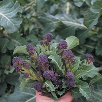 Broccoli (Sprouting) Cardinal Vegetable Seeds