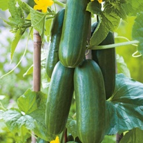Cucumber Party Time F1 Vegetable Seeds