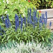 Salvia Blue Bedder Flower Seeds