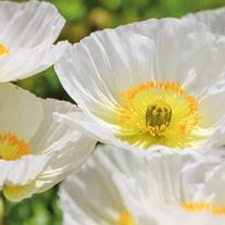 Poppy Bridal Silk Flower Seeds