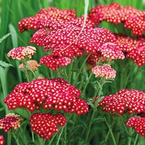 Achillea Cherry Queen Plant