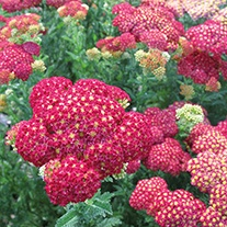 Achillea Summer Fruits Carmine Plants