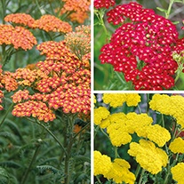 Achillea Plant Collection