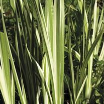 Acorus calamus Variegatus 1ltr Mariginal Pond Plant