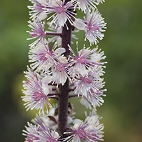 Actaea Chocoholic plants