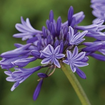 Agapanthus Navy Blue Plant