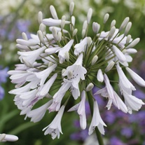 Agapanthus Windsor Grey Plant