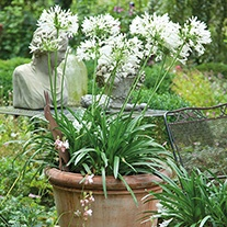 Agapanthus White Umbrella Plants