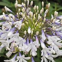 Agapanthus Queen Mum Plants
