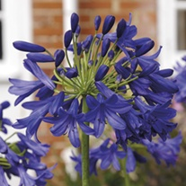 Agapanthus Flower of Love Plants