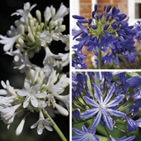 Agapanthus Plant Collection